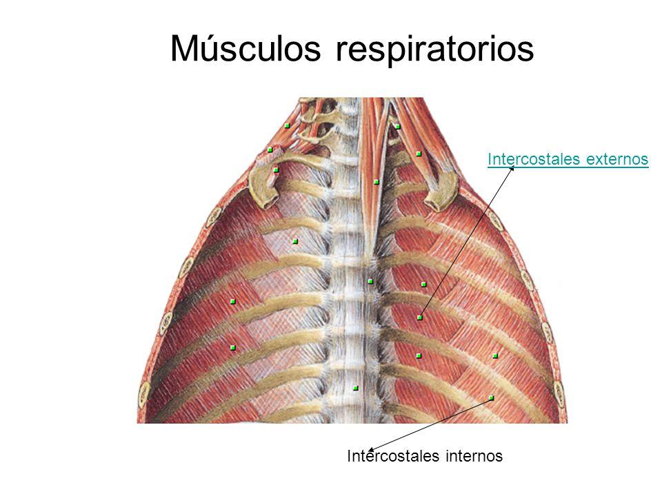 Músculos respiratorios