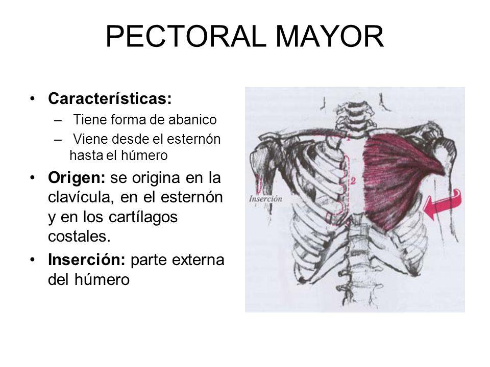 PECTORAL MAYOR Características: