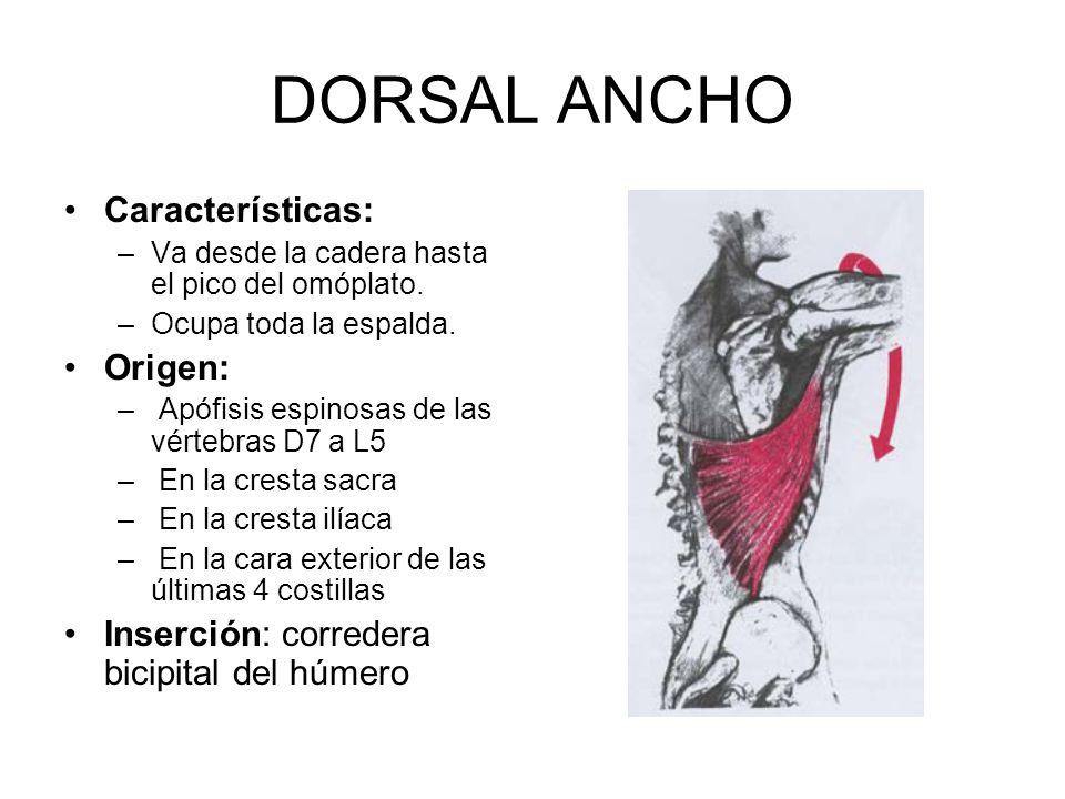 DORSAL ANCHO Características: Origen: