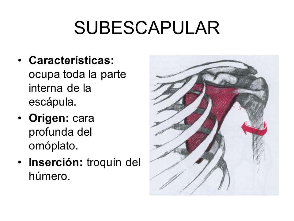 SUBESCAPULAR Características: ocupa toda la parte interna de la escápula. Origen: cara profunda del omóplato.