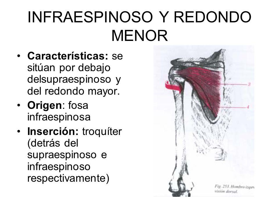 INFRAESPINOSO Y REDONDO MENOR