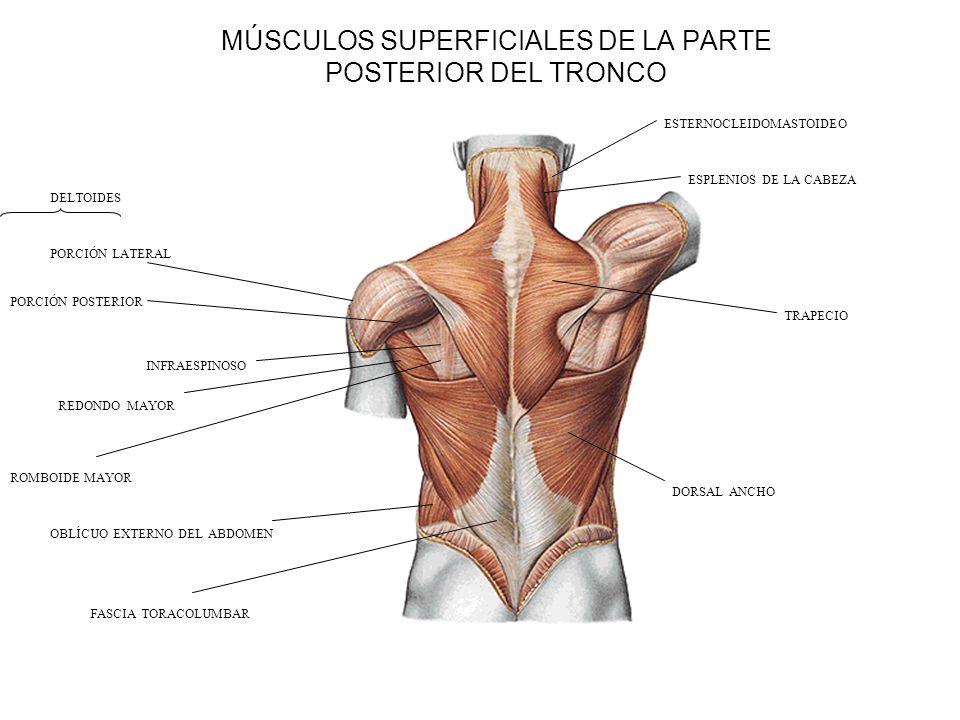 Lujoso Los Músculos Del Torso Componente - Anatomía de Las ...
