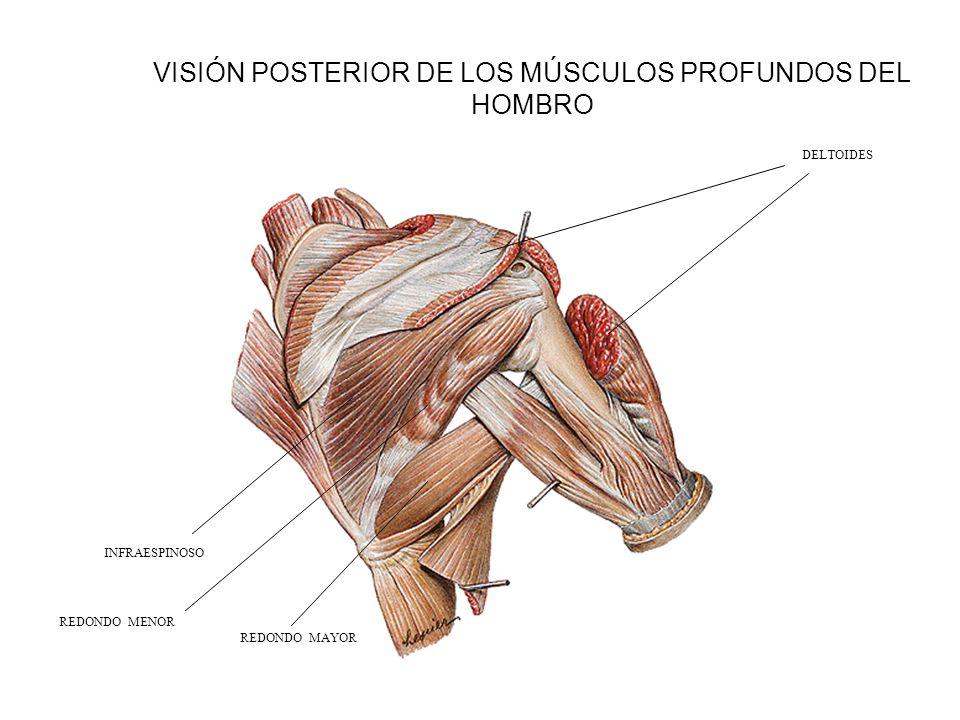 Lujo Hombro Anatomía Ppt Modelo - Imágenes de Anatomía Humana ...