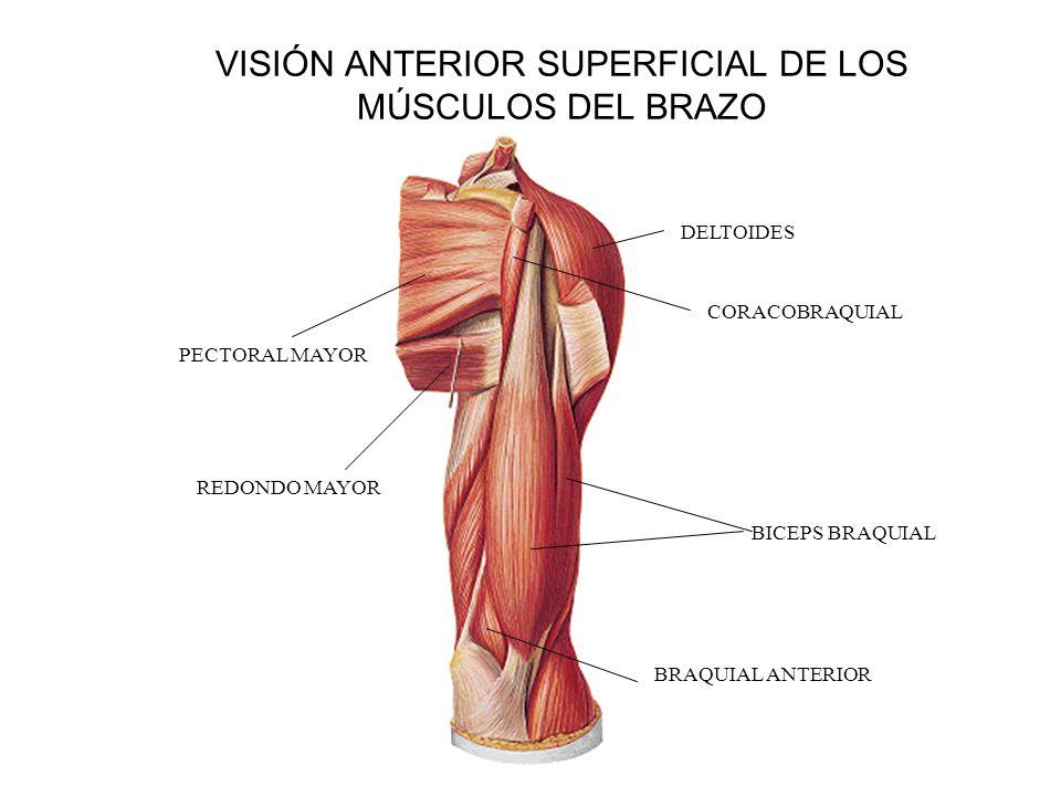 Famoso Anatomía Del Músculo Deltoides Viñeta - Imágenes de Anatomía ...