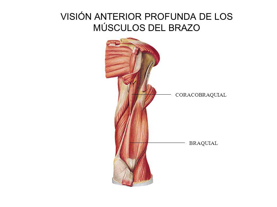 Encantador Pata Anterior Anatomía Muscular Cresta - Imágenes de ...