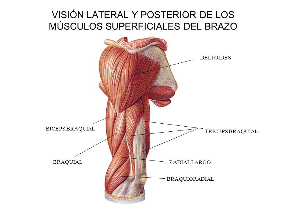 VISIÓN LATERAL Y POSTERIOR DE LOS MÚSCULOS SUPERFICIALES DEL BRAZO