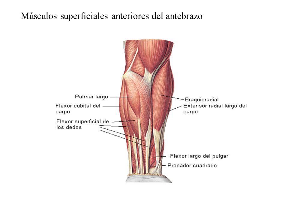 Músculos superficiales anteriores del antebrazo