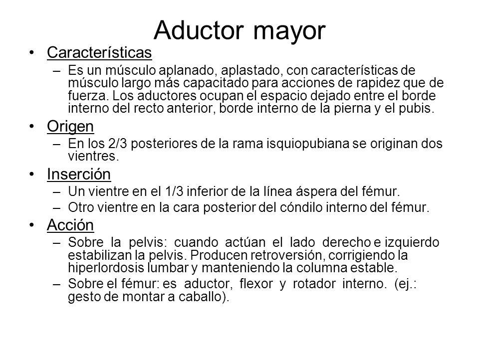 Aductor mayor Características Origen Inserción Acción