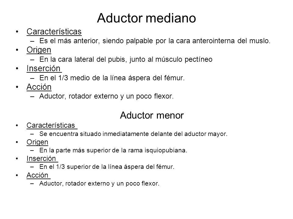 Aductor mediano Aductor menor Características Origen Inserción Acción