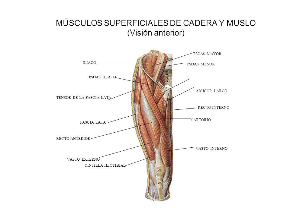 MÚSCULOS SUPERFICIALES DE CADERA Y MUSLO (Visión anterior)
