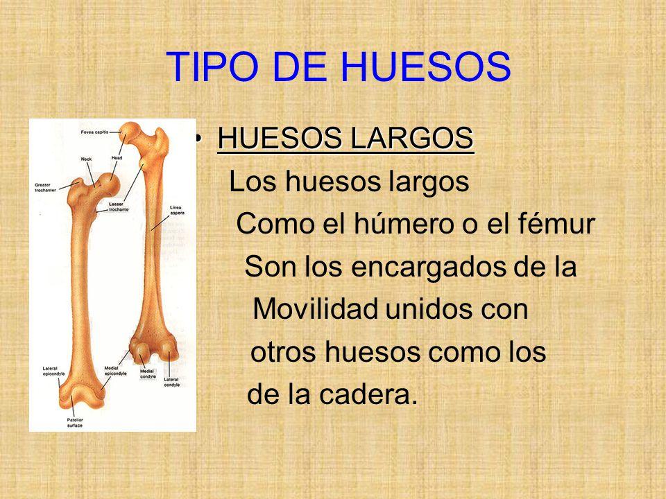 TIPO DE HUESOS HUESOS LARGOS Los huesos largos