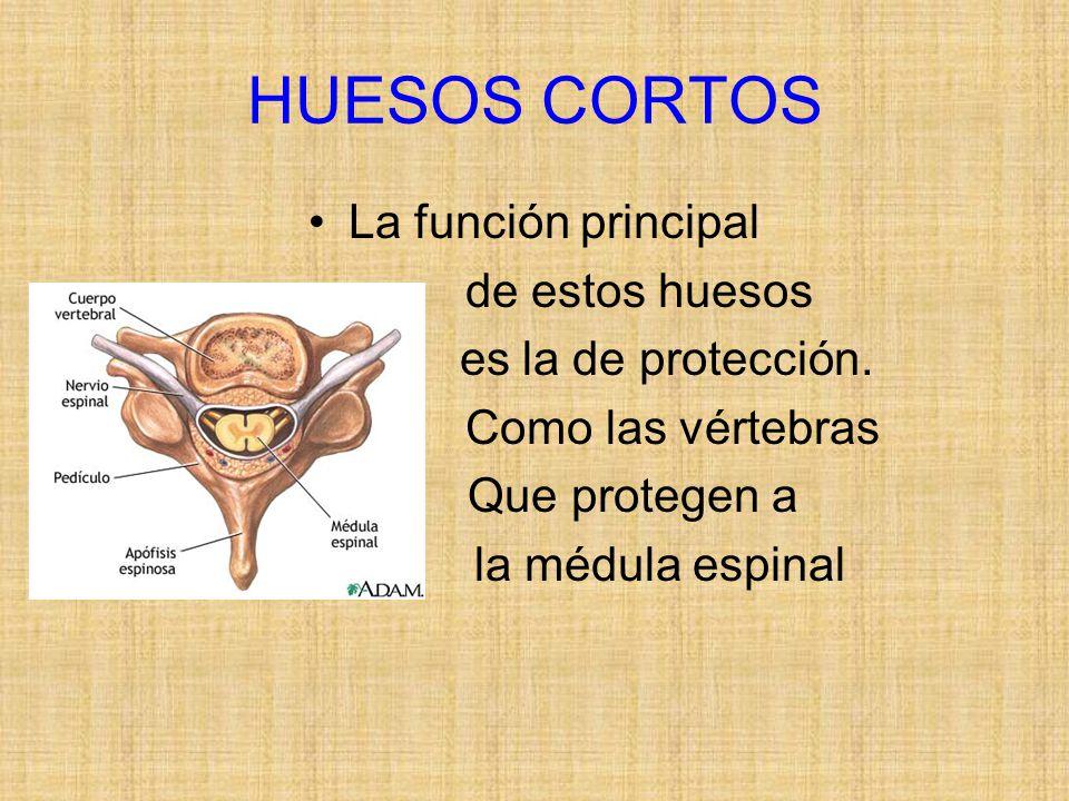 HUESOS CORTOS La función principal de estos huesos