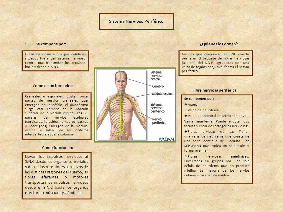 Sistema Nervioso Periférico Fibra nerviosa periférica