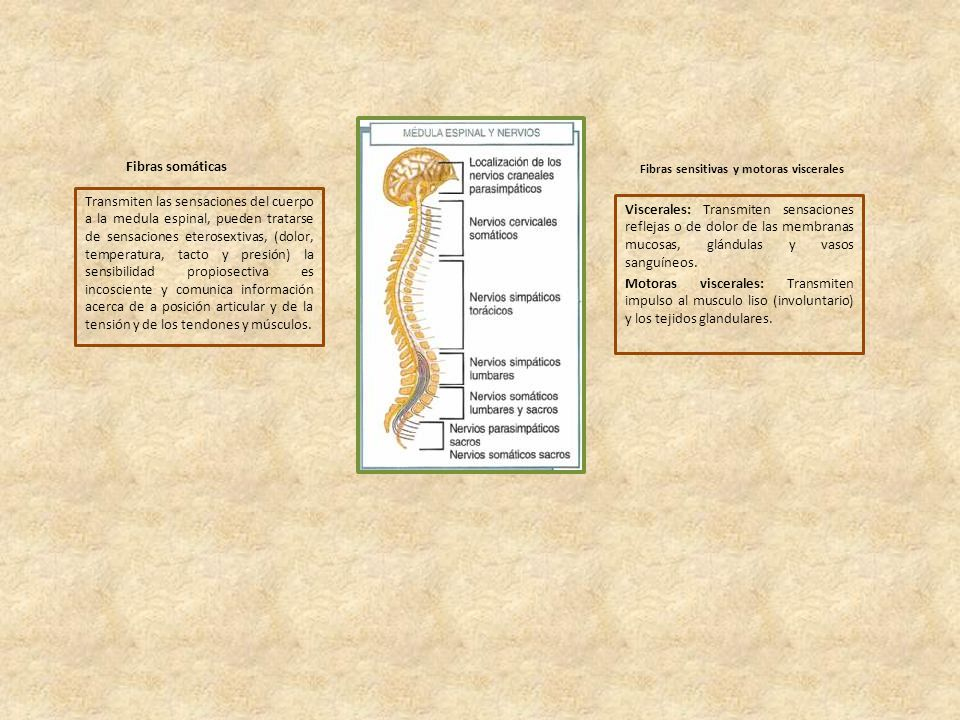 Fibras sensitivas y motoras viscerales