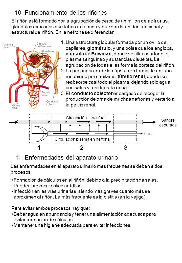 10. Funcionamiento de los riñones