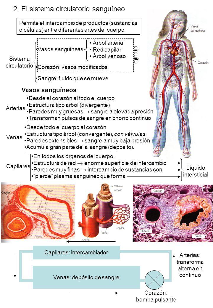 2. El sistema circulatorio sanguíneo
