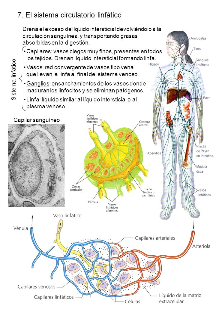 7. El sistema circulatorio linfático
