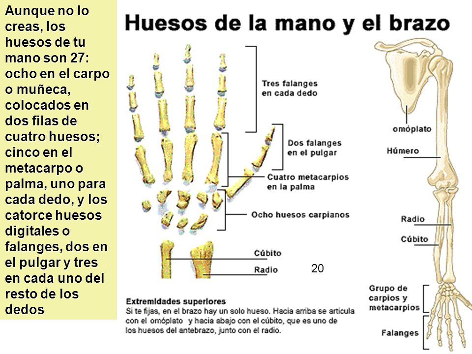 Aunque no lo creas, los huesos de tu mano son 27: ocho en el carpo o muñeca, colocados en dos filas de cuatro huesos; cinco en el metacarpo o palma, uno para cada dedo, y los catorce huesos digitales o falanges, dos en el pulgar y tres en cada uno del resto de los dedos