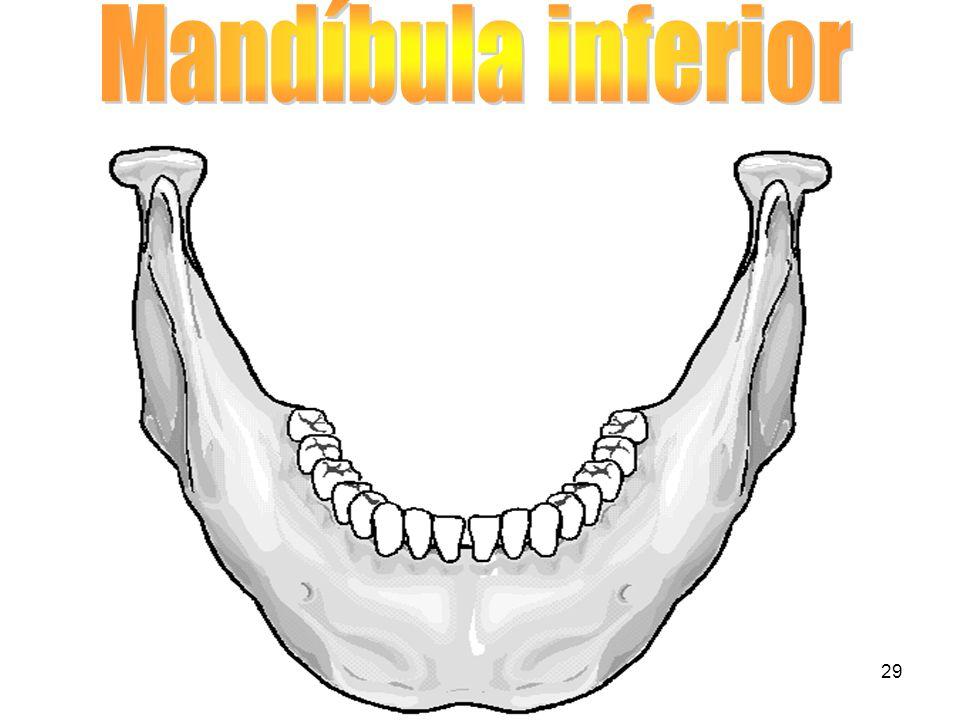 Mandíbula inferior