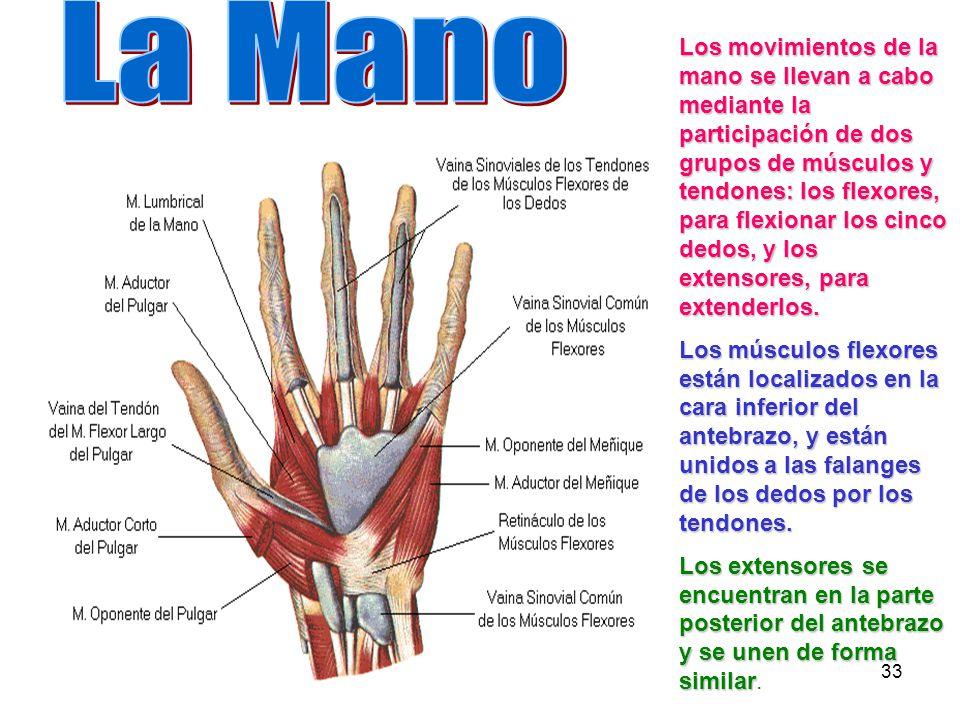 Dorable Flexor De La Anatomía De La Mano Del Tendón Viñeta ...
