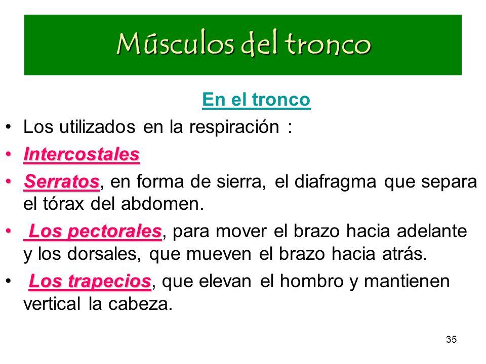 Músculos del tronco En el tronco Los utilizados en la respiración :