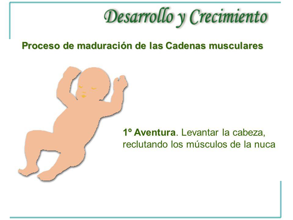 Proceso de maduración de las Cadenas musculares
