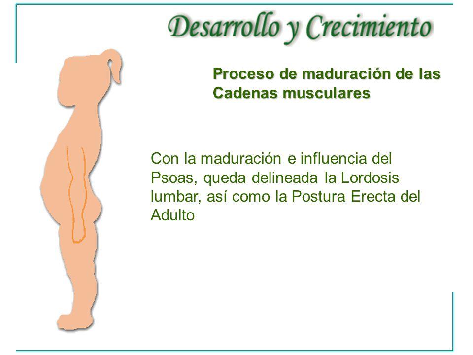 Con la maduración e influencia del Psoas, queda delineada la Lordosis lumbar, así como la Postura Erecta del Adulto