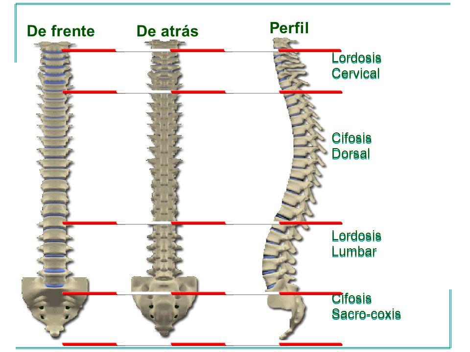 Perfil De frente De atrás Lordosis Cervical Cifosis Dorsal Lordosis