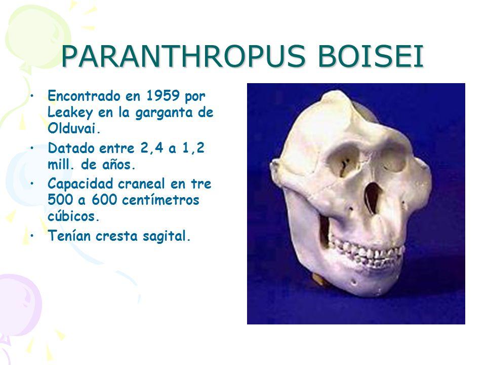 PARANTHROPUS BOISEI Encontrado en 1959 por Leakey en la garganta de Olduvai. Datado entre 2,4 a 1,2 mill. de años.