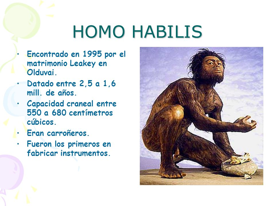 HOMO HABILIS Encontrado en 1995 por el matrimonio Leakey en Olduvai.