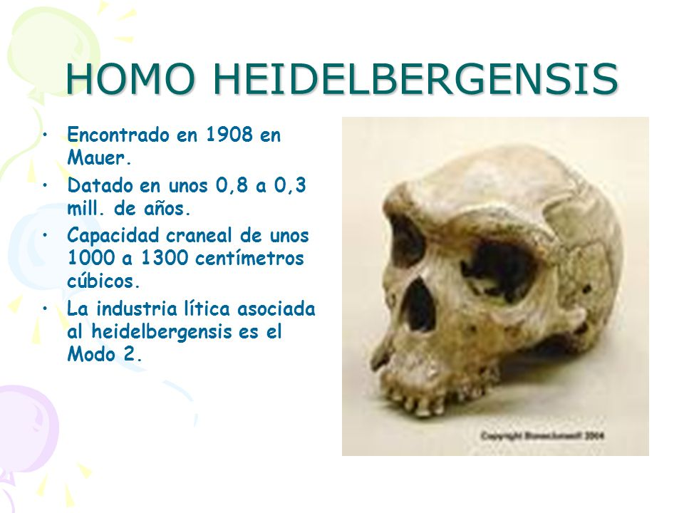 HOMO HEIDELBERGENSIS Encontrado en 1908 en Mauer.