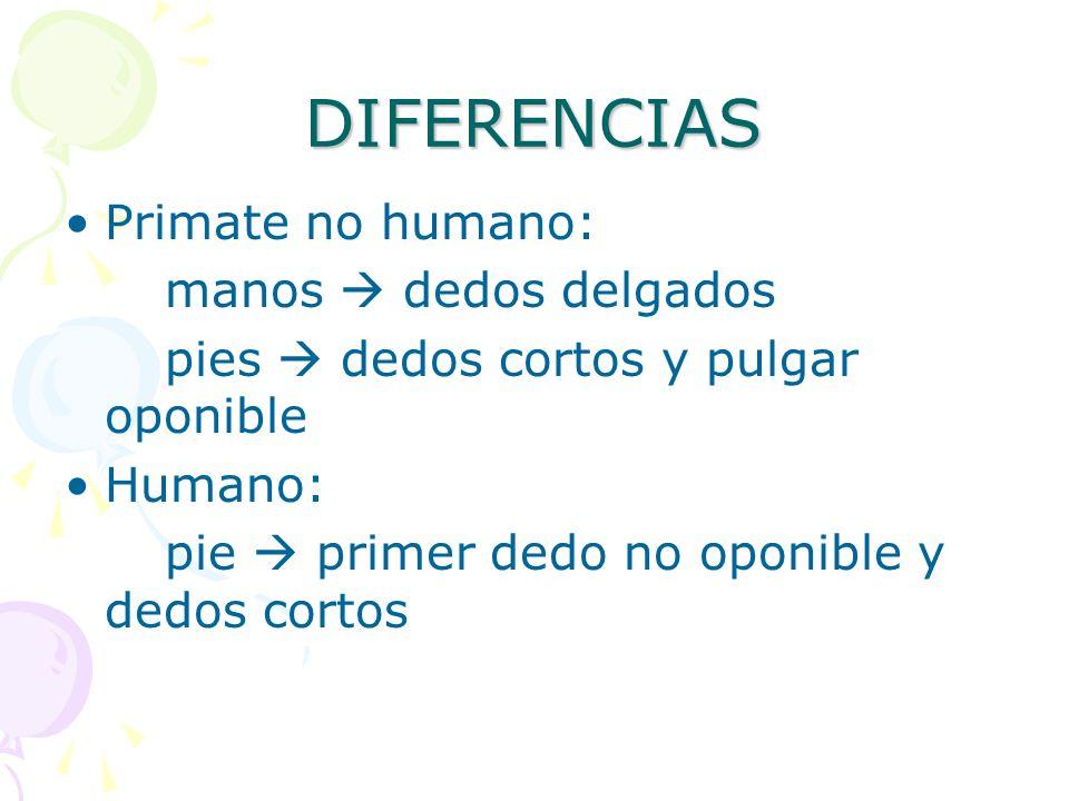 DIFERENCIAS Primate no humano: manos  dedos delgados