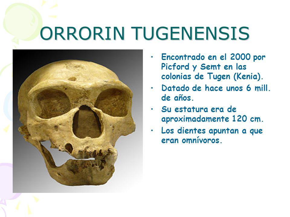 ORRORIN TUGENENSIS Encontrado en el 2000 por Picford y Semt en las colonias de Tugen (Kenia). Datado de hace unos 6 mill. de años.