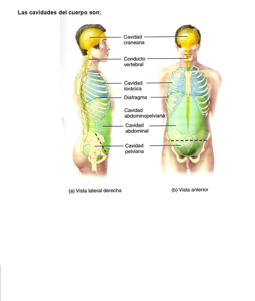 Segmentos y cavidades En el organismo humano hay varias cavidades o ...