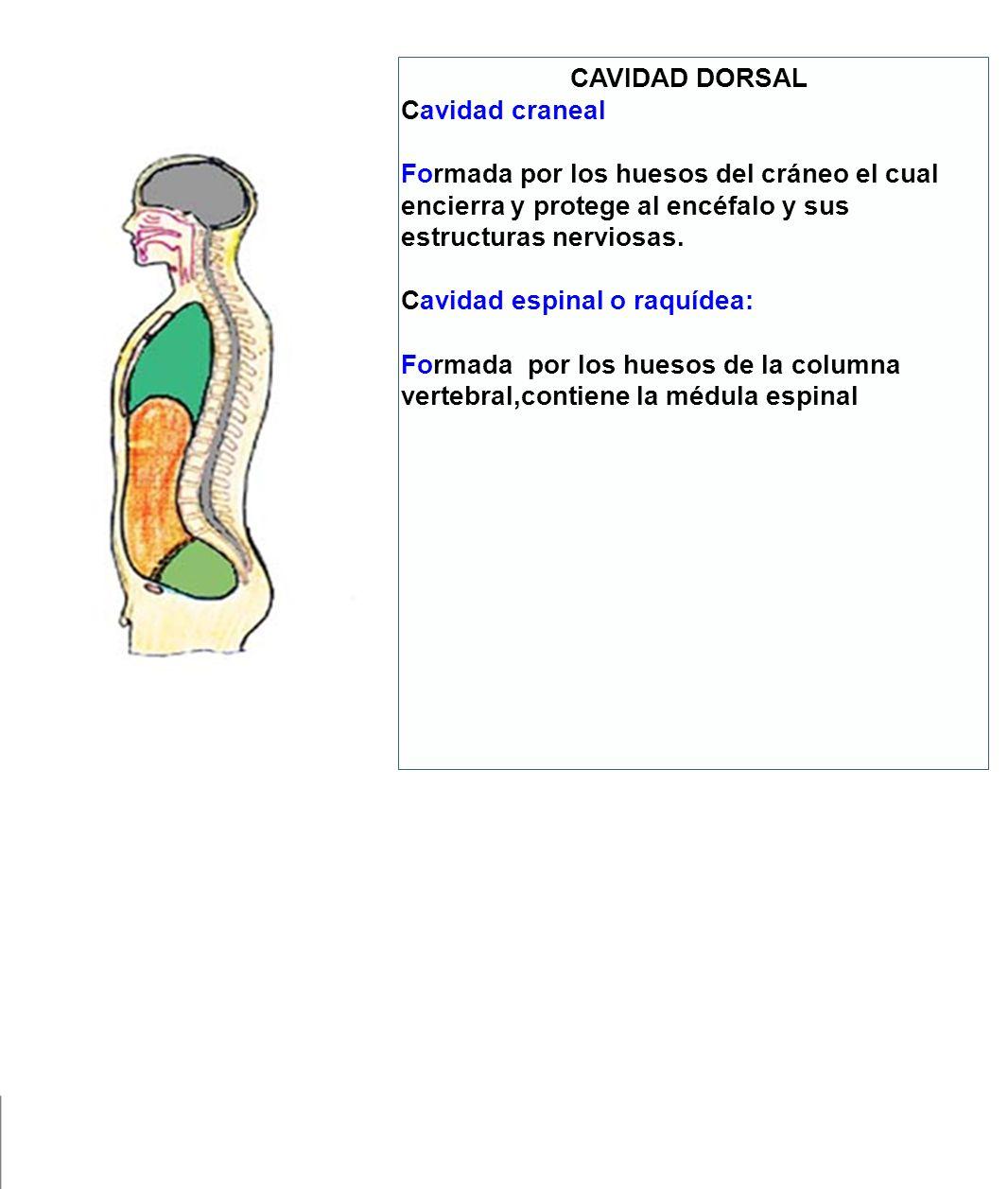 CAVIDAD DORSAL Cavidad craneal. Formada por los huesos del cráneo el cual encierra y protege al encéfalo y sus estructuras nerviosas.