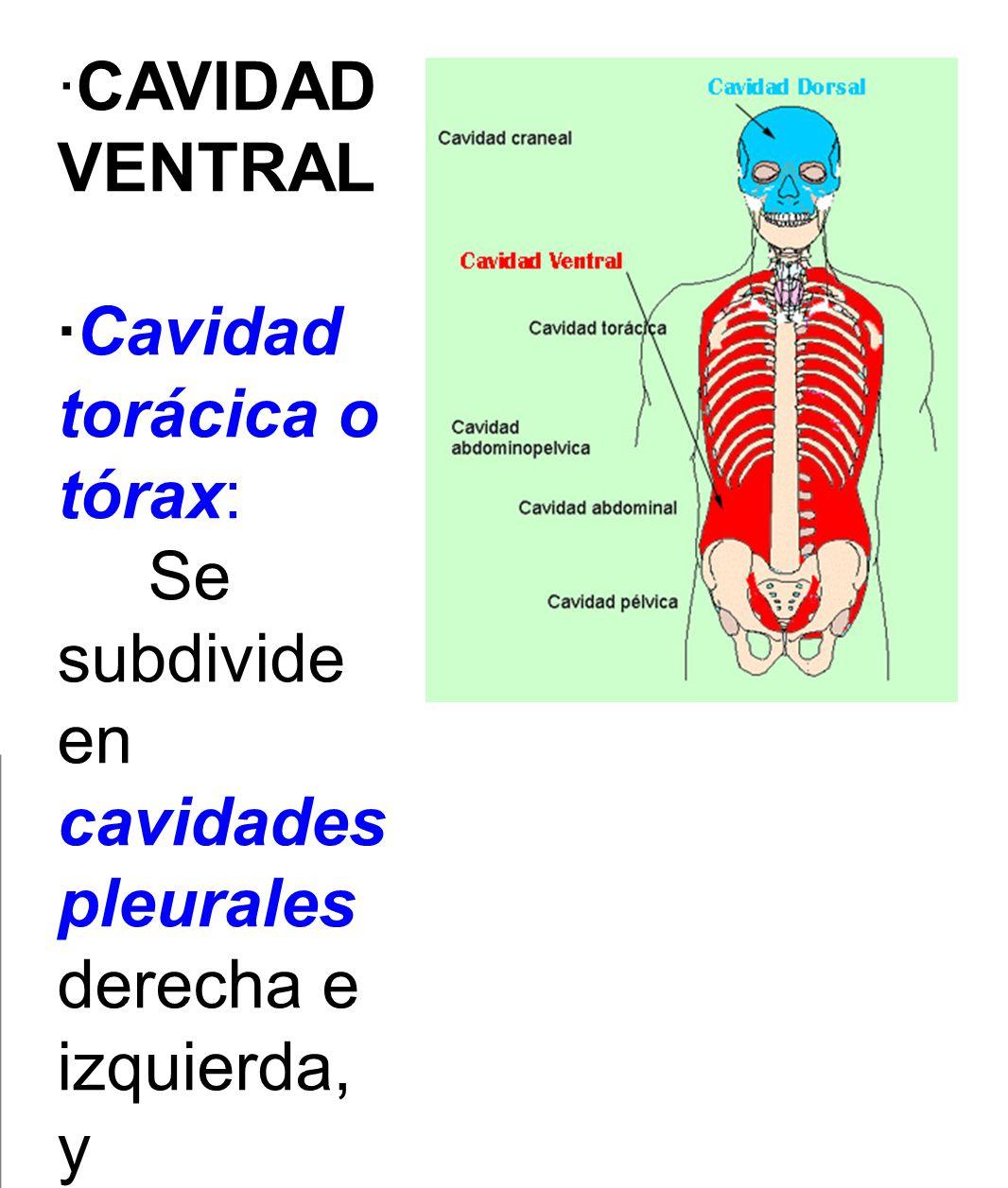 ·CAVIDAD VENTRAL ·Cavidad torácica o tórax: Se subdivide en cavidades pleurales derecha e izquierda, y mediastino.