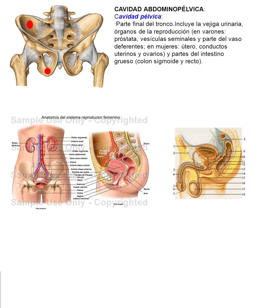 Dorable Anatomía Cavidad Pélvica Patrón - Anatomía de Las ...