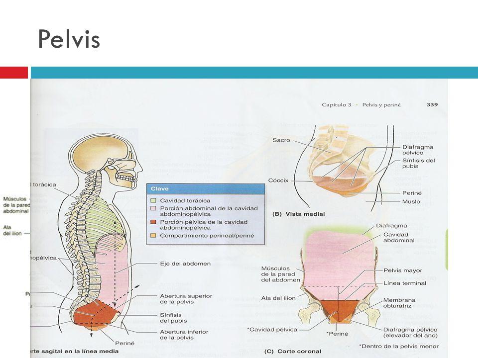 Pelvis La pelvis es el espacio rodeado por la cintura pélvica (pelvis ósea) Pelvis mayor.