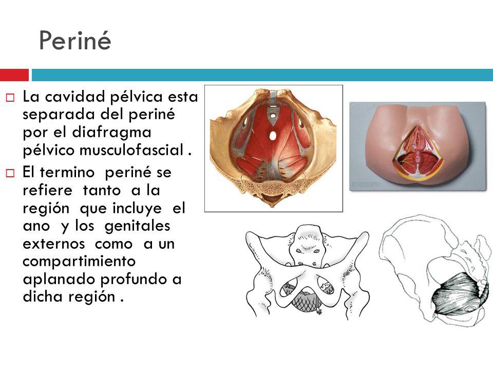 Periné La cavidad pélvica esta separada del periné por el diafragma pélvico musculofascial .