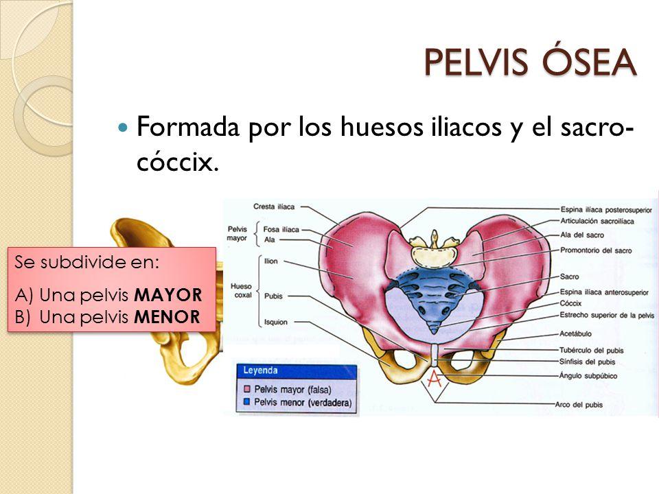 PELVIS ÓSEA Formada por los huesos iliacos y el sacro- cóccix.