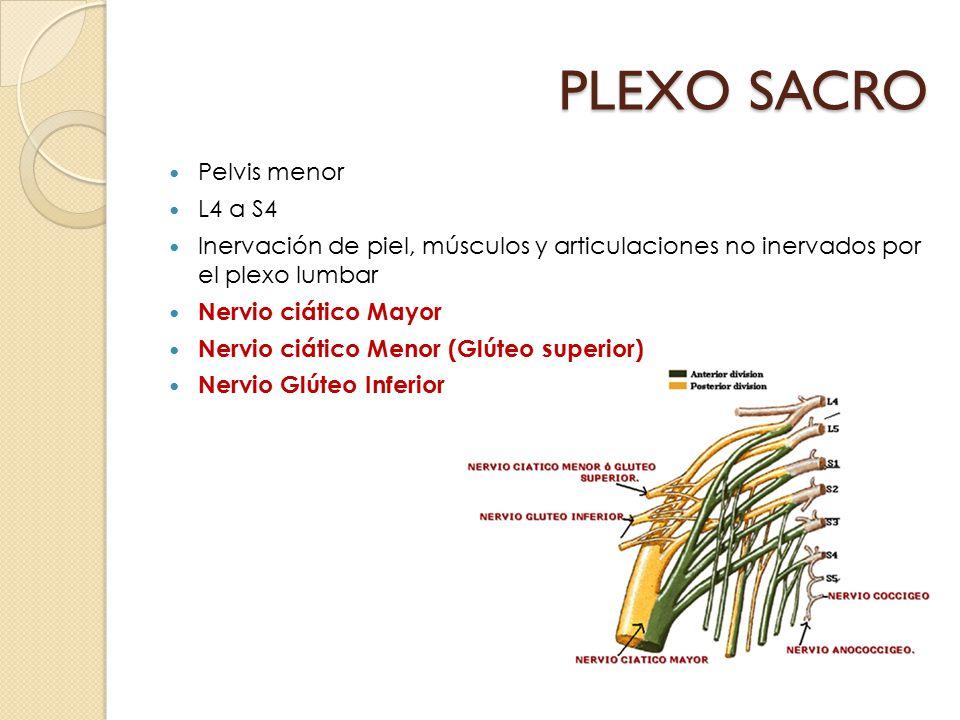 PLEXO SACRO Pelvis menor L4 a S4