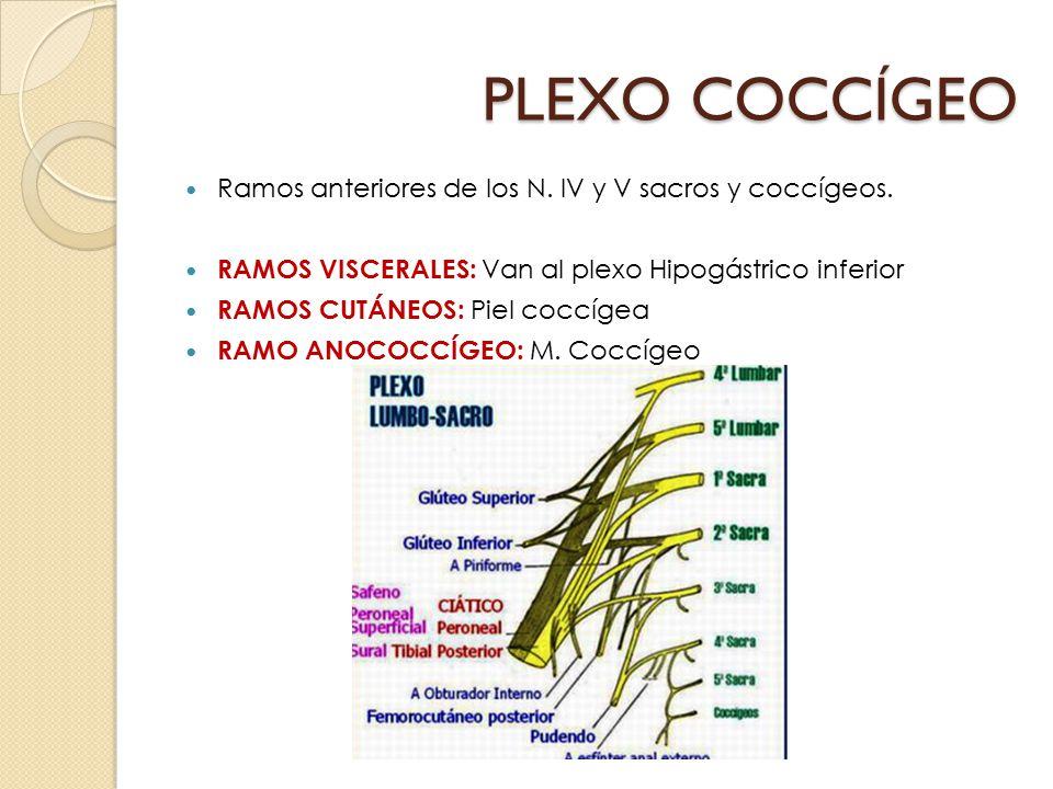 PLEXO COCCÍGEO Ramos anteriores de los N. IV y V sacros y coccígeos.