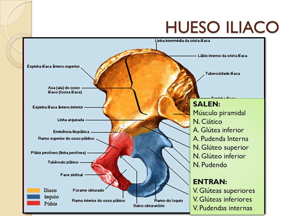 HUESO ILIACO SALEN: Músculo piramidal N. Ciático A. Glútea inferior