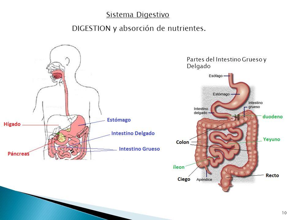 DIGESTION y absorción de nutrientes.