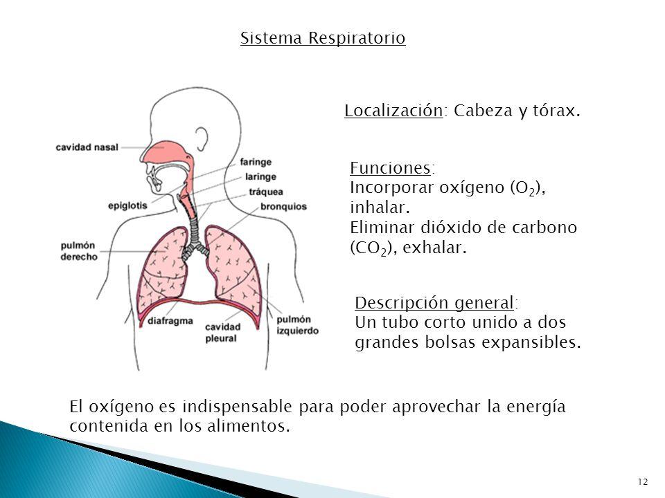 Sistema Respiratorio Localización: Cabeza y tórax. Funciones: Incorporar oxígeno (O2), inhalar. Eliminar dióxido de carbono (CO2), exhalar.