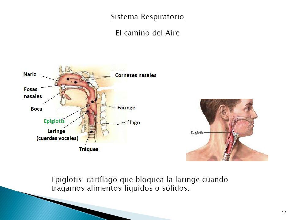 Sistema Respiratorio El camino del Aire.