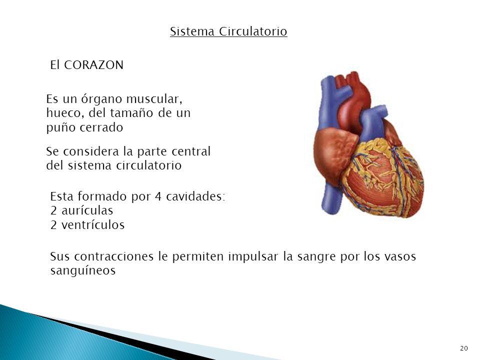 Sistema Circulatorio El CORAZON. Es un órgano muscular, hueco, del tamaño de un puño cerrado.