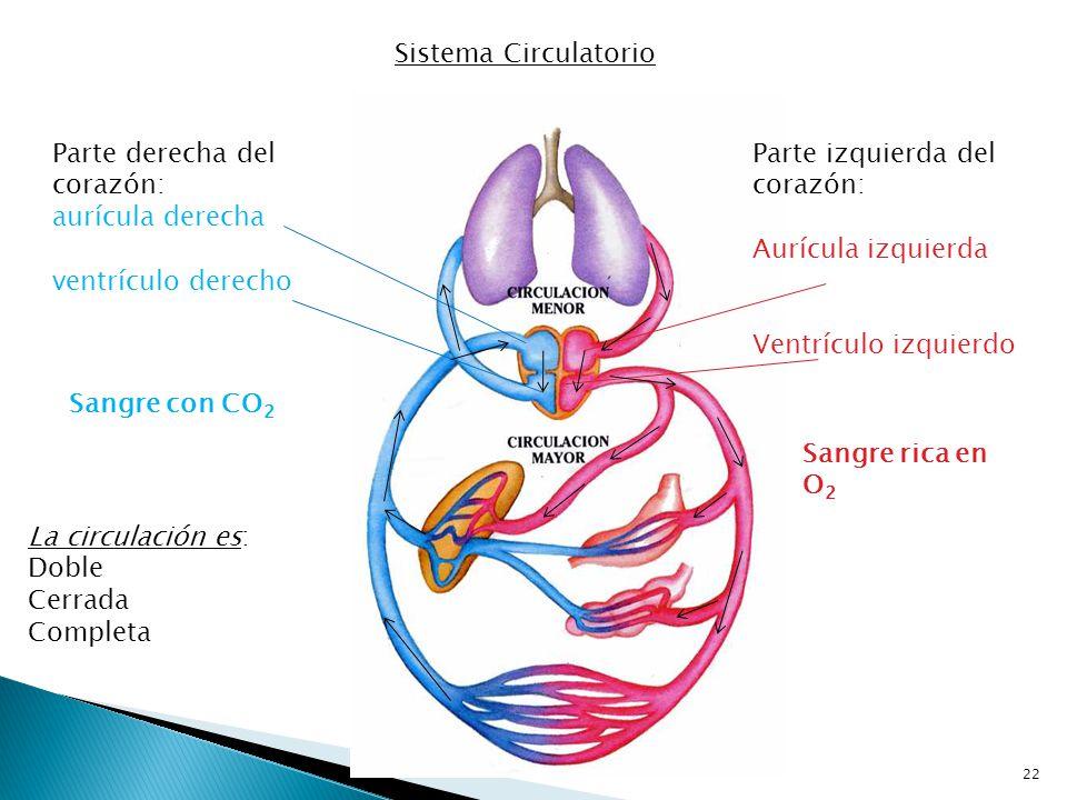 Sistema Circulatorio Parte derecha del corazón: aurícula derecha. ventrículo derecho. Parte izquierda del corazón: