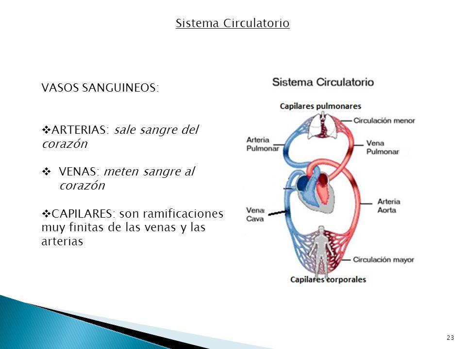 Sistema Circulatorio VASOS SANGUINEOS: ARTERIAS: sale sangre del corazón. VENAS: meten sangre al corazón.