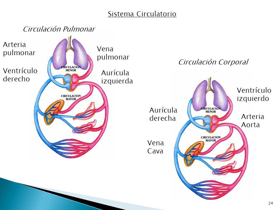 Sistema Circulatorio Circulación Pulmonar. Arteria pulmonar. Vena pulmonar. Circulación Corporal.